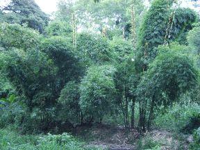20110528023819-31-formacion-de-bosque-bayamo.jpg